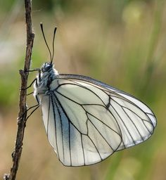 Aporia crataegi, the Black-veined White, is a large butterfly of the Pieridae family. It is found in orchards and bushes throughout most of Europe, North America, temperate Asia, Korea and Japan. Wikipedia