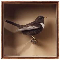 Edwardian Taxidermy Case of a Ring Ouzel by J. Cullingford   From a unique collection of antique and modern collectibles and curiosities at https://www.1stdibs.com/furniture/more-furniture-collectibles/collectibles-curiosities/