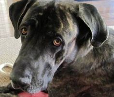 BUDDY is an adoptable Great Dane Dog in East Lansing, MI. SAVE A LIFE...ADOPT A HOMELESS PET! PLEASE CLICK HERE TO READ OUR ADOPTION PROCESS & REQUIREMENTS FIRST 10-13-12: This sweet boy just came int...