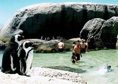 Swimming with Penguins - Bolder Beach South Africa