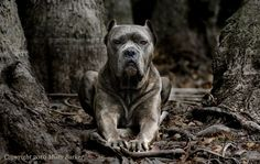 Cane Corso. The Roman dog of war. Looks like a Pit on steroids. Comes ...