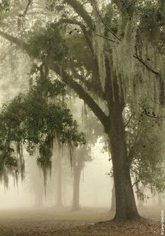 As #Southern as... Spanish Moss Dripping From Stately Hundred-Year-Old Oaks. {Fontainbleau State Park in Mandeville, #Louisiana by Lana Gramlich} https://www.facebook.com/ThisIsOurSouth/photos/a.332928783472689.69899.325093580922876/738123539619876/?type=1&theater