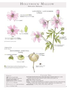 Hollyhock Mallow. These are pages from the book Foraging & Feasting: A Field Guide and Wild Food Cookbook by Dina Falconi and illustrated by Wendy Hollender. Published by Botanical Arts Press. Learn more about the book and how to purchase at www.botanicalartspress.com.