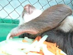 Sloth is too lazy to turn its head, so it keeps picking up food randomly until it gets carrots