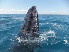 Whale watching - Queensland, Australia
