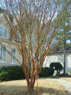 """How to properly trim the crepe myrtle trees, instead of committing """"Crepe Murder"""" as so many people in the south do."""