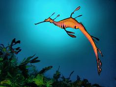 The Weedy Sea Dragon is the only species belonging to the Phyllopteryx genus. This fish species is a close relative of the seahorse and the Leafy Sea Dragon. Underwater Sea, Underwater Creatures, Ocean Creatures, Weedy Sea Dragon, Creature Picture, Life Under The Sea, Dragon Images, Marine Fish, Australian Animals