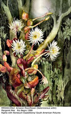 A flor-da-lua pintada por Margaret Mee