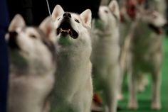 Siberian Huskies : Photo