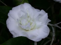Edelweiss (Camellia Japonica)
