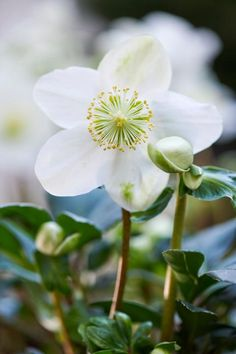 Beautiful flowers in the middle of winter Flowers Uk, Elegant Flowers, Wild Flowers, Beautiful Flowers, Winter Rose, Winter Flowers, Simple Garden Designs, Winter Plants, Anemone Flower
