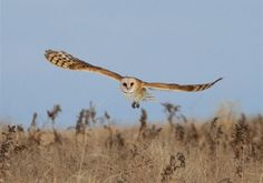 Barn owl at night, rodents take flight.