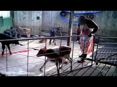Animal charity's horrifying video exposes shocking animal cruelty within New Zealand dairy industry - YouTube