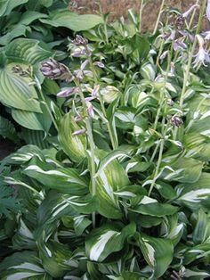 Kirjokuunlilja, Hosta undulata, brokfunkia Dream Garden, Rose, Plants, Lawn And Garden, Pink, Roses, Plant, Planting
