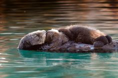 Photos from a wild sea otter mother and pup's visit to Monterey Bay Aquarium - February 9, 2014 - More photos and video at the link: http://dailyotter.org/2014/02/09/photos-from-a-wild-sea-otter-mother-and-pups-visit-to-monterey-bay-aquarium/ !