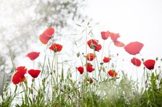 Poppies in Tuscany | Cannelle et Vanille