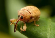 Acorn Weevil (Curculio glandium) #insects