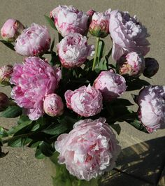 Sarah Bernhard, one of the most beautiful and most used light pink peonies!