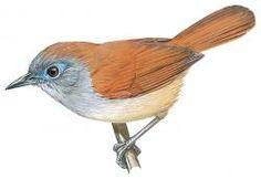 Chestnut-winged Babbler (Stachyris erythroptera)