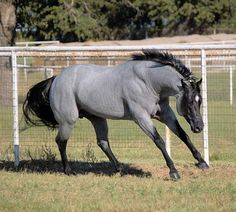 Quarter Horse stallion. Wow this horse is so striking. I don't remember ever seeing one this color before.