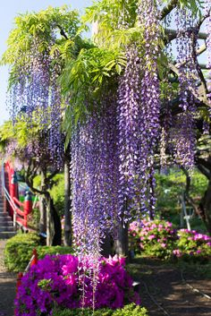 Wisteria at Kameidoten-jinja, Tokyo, Japan. Apparently they embrace the wisteria in Japan. We should too!