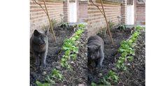 Marengo que es como un pequeño tigre por casa cuando está en el jardín le sale la vena salvaje y es como si estuviese en la jungla: caza corre salta... eso sí lo único que caza son hojas ramas... bueno y algún pobre saltamontes. Un verdadero rey de la sabana!  #pinterest #garden #cat #animals http://ift.tt/1YjIbca