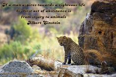 If a man aspires towards a righteous life his first act of abstinence is from injury to animals. ~ Albert Einstein -   Leopard
