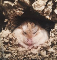 He built a tunnel in the perfect spot #aww #Cutehamsters #hamster #hamstersofpinterest #boopthesnoot #cuddle #fluffy #animals #aww #socute #derp #cute #bestfriend #itssofluffy #rodents