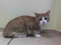 Please save Cosmo beautiful kitty at the ACC shelter in New York City URGENT visit pets on death row on Facebook. Owner says No Time as excuse....