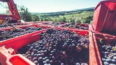 3 Wine Harvesting Myths Debunked Why harvest dates are about more than sugar and acid, hand-harvesting isn't always best, and more #wine