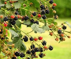 How to Grow Thornless Blackberries | Garden Guides