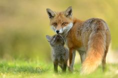 Red Foxes by Benjami