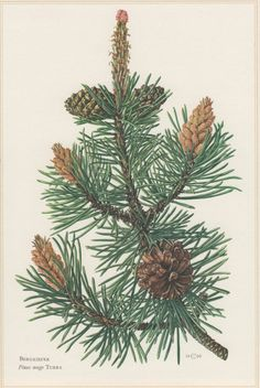 1960 Vintage Botanical Print Pinus mugo Mountain by Craftissimo