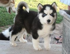i think i've found the cutest dogs alaskan kai (miniture huskies) beautiful
