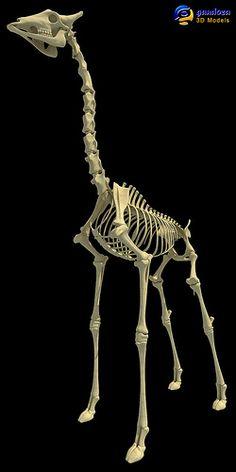 Animal Skeleton Giraffe