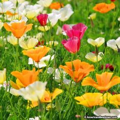 california poppies mixed colors | California Poppy Seeds Splendid Mix - American Meadows
