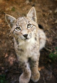Lynx Cub, reminds me of my own kitty when she wants something.  www.facebook.com/locketsbyrochelle