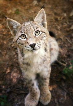 Lynx Cub, reminds me of my own kitty when she wants something.  www.facebook.com/locketsbyrochelle