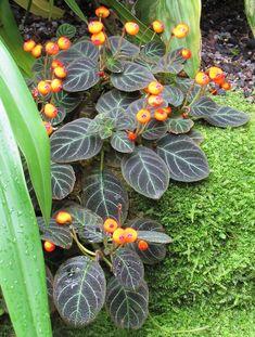 Pearcea hypocyrtiflora Weird Plants, Exotic Plants, Cool Plants, Exotic Flowers, Bonsai Garden, Garden Plants, Indoor Plants, Tropical Garden, Tropical Plants