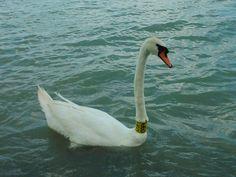 Balaton Swan, Animals, Animales, Animaux, Swans, Animal, Animais
