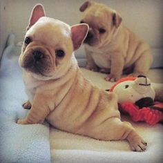 Yoga time ❤ for these the French Bulldog Puppies #buldog