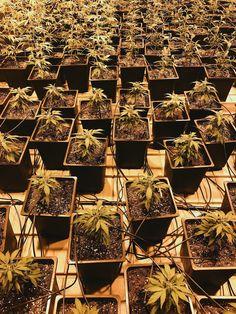 Pt. 2 // Während der Wachstumsphase und in der Blüte sind die Hanfpflanzen in Töpfen mit Erde. Die automatische Bewässerungsanlage sorgt dafür, dass die Pflanzen nie Durst haben. . . . . #cbd #cbdweed #vienna #austria #cbdcannabis #legalweed #cbdflowers #cbdaustria #cbdgermany #cbdeurope #cbdgrowroom #productionlabmagu #cbdwholesale Cannabis, City Photo, Texture, Crafts, Organic Gardening, Hemp, Earth, Plants, Surface Finish