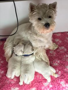 Two week old puppies. Westies