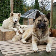 Kodiak, chien Chien du Groenland