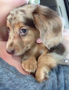 Dachshund ❤️......beautiful little doxie
