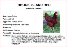 Rhode Island Red Chickens Information on Breed