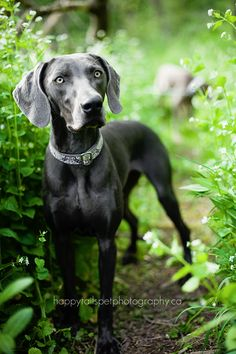 Blue Weimaraner....I own two.. I love this color!!!  And no better breed!!!!