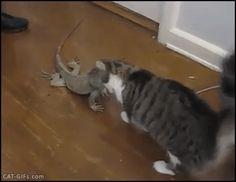 CAT GIF • Cute funny Cat cuddling Lizard with head boops: best friends