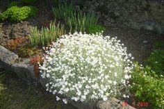 """Coussin d'argent (Cerastium tomentosum) : un couvre-sol de choc, pour le plein soleil et dans n'importe quel type de sol. Egalement appelée """"Oreille de souris"""", cette variété à feuillage gris persistant est très vigoureuse et tapissante. Elle se couvre de ravissantes petites fleurs blanches d'avril à juin. Sin feuillage donne une touche de couleur claire tout l'hiver à votre jardin ou à vos murets fleuris Arrosage : très modéré. Densité de plantation : 9 m². Exposition : soleil, mi-ombre."""