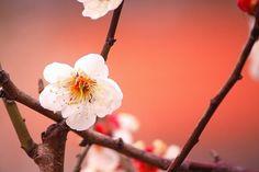 4 Ways to Enjoy Japanese Apricots – Japan Info Japanese Plum, Japanese Nature, Nara Period, Japan Info, Fruit In Season, Best Seasons, Spring, Nara
